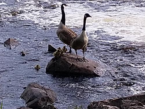 Ett par med sina fem ungar i den strida Fänforsen